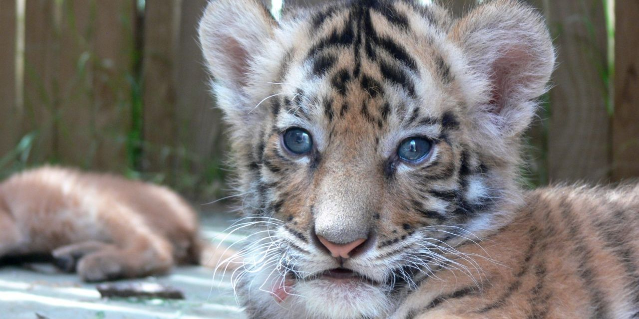 Tinder Says: Take Down Your Tiger Selfies!
