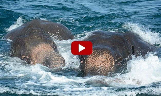 VIDEO: Two Elephants Swept Out to Sea Rescued in 'Mammoth Effort'