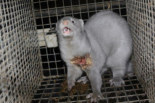 Mink fur farm in Finland.