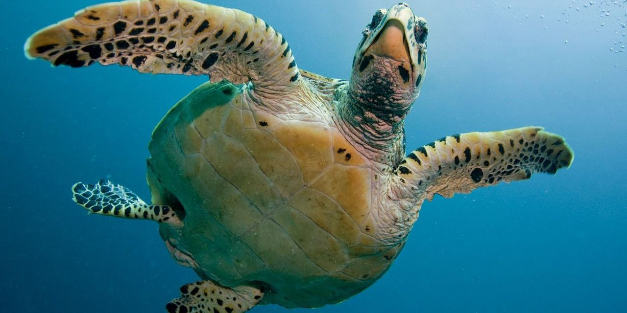 After Decades of Effort, Sea Turtles Are Making a Comeback