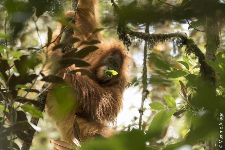 The Tapanuli orangutan munches on some leaves in the forests of Indonesia.