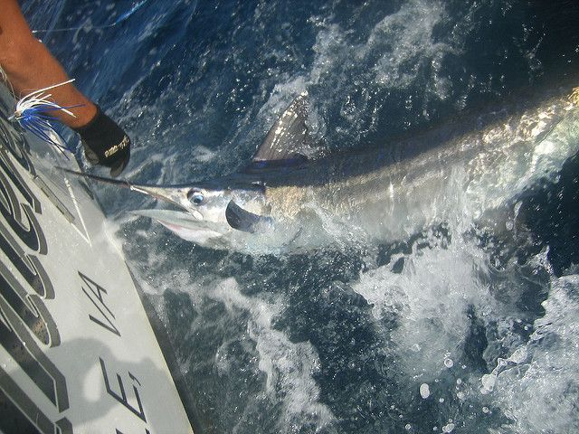 White marlin is at risk from over fishing