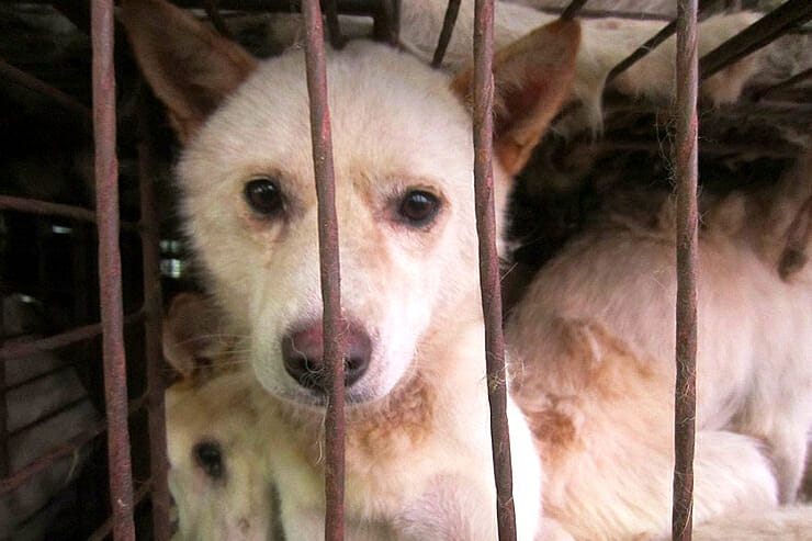 Sign: Stop the Slaughter and End Korea's Brutal Boknal 'Dog Eating Days'