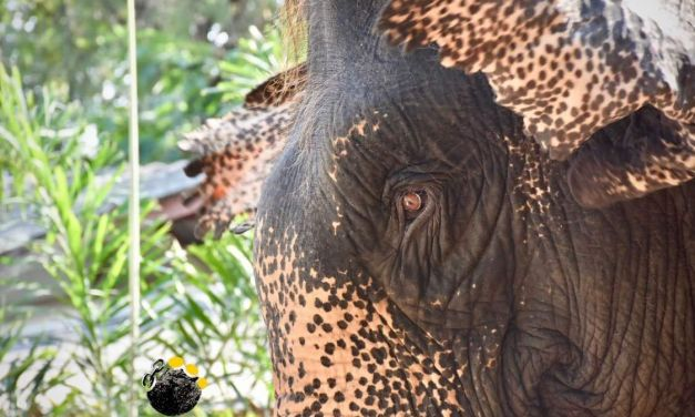 Video: Rescued Elephant With Deformed Foot Will Never Have to Give Tourist Rides Again