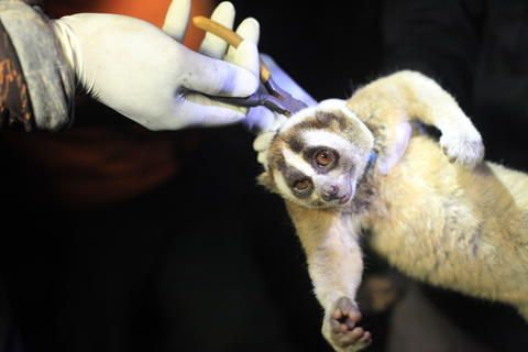 Endangered Slow Lorises Finally Free from Illegal Wildlife Traffickers