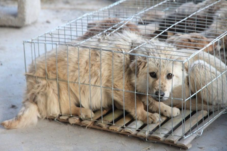 Petition - Stop the Horrific Dog and Cat Meat Trade in China