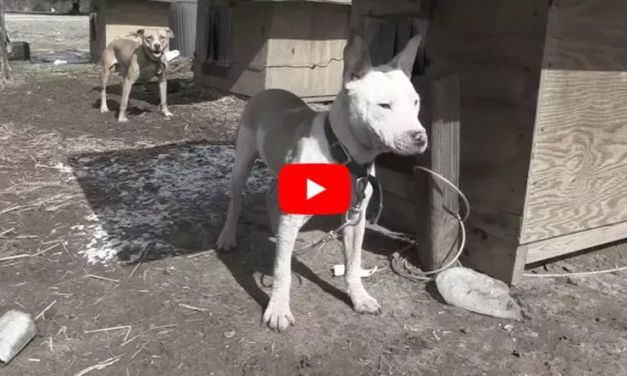 VIDEO: Dog Chained Since He Was Just 6 Weeks Old Meets His New Family for the First Time