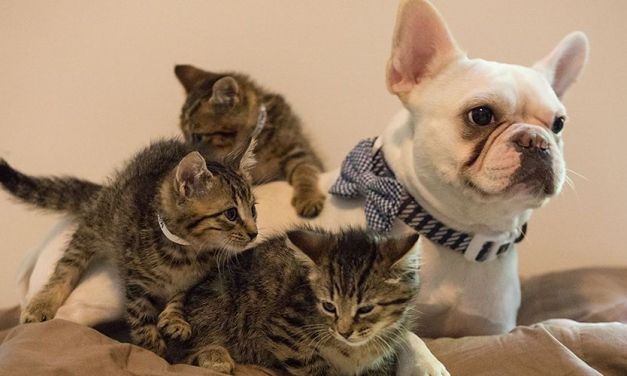 This Incredible Bulldog Trains Rescue Kittens to Get them Ready for Adoption