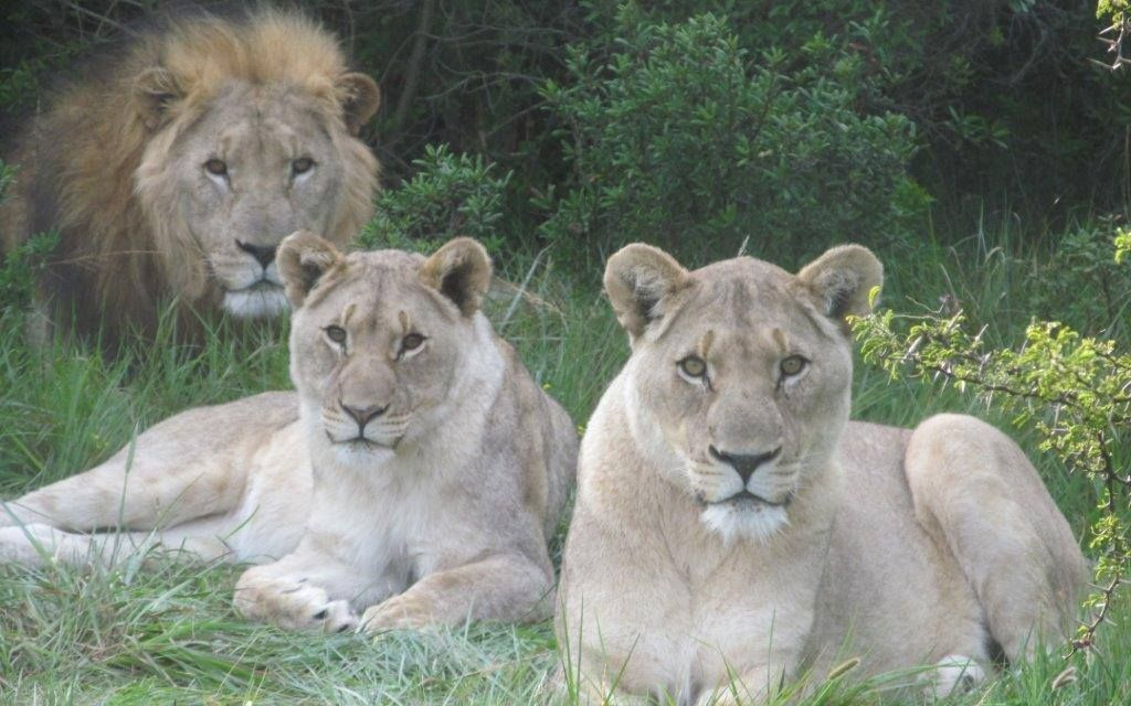 Three Rhino Poachers Go Out Hunting, Are Eaten by a Pack of Lions