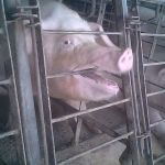 New Investigation: Pigs Kicked, Beaten and Mutilated at Supplier to World's Largest Meat Company