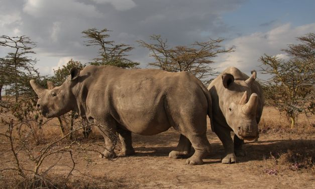 Lab Creates White Rhino Embryos to Save Species from Extinction