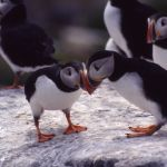 The 'Puffin Patrol' Is Saving Hundreds of Birds from Death by Light Pollution