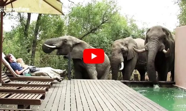 VIDEO: Wild Elephants Surprise Tourists by Heading to the Pool for a Drink