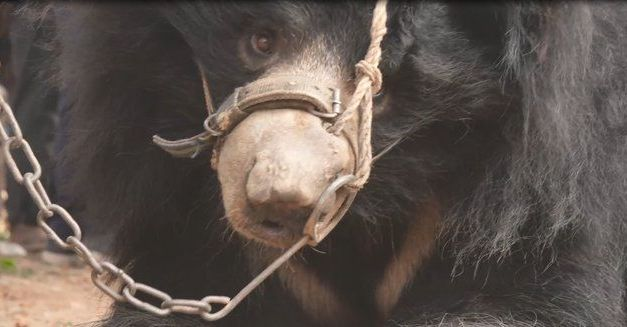 Nepal's Last Dancing Bear Finally Arrives at Rescue Center