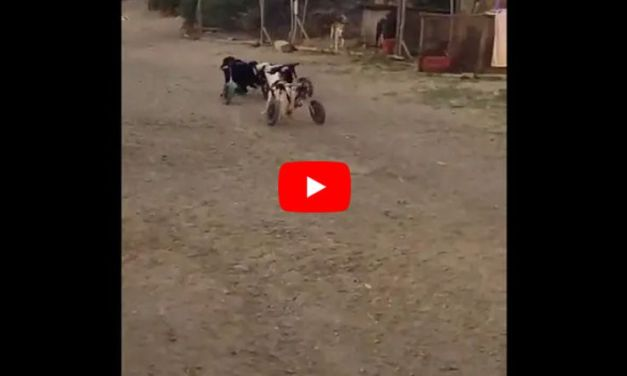 VIDEO: Adorable 'Wheelie Dogs' Love to Play Tag