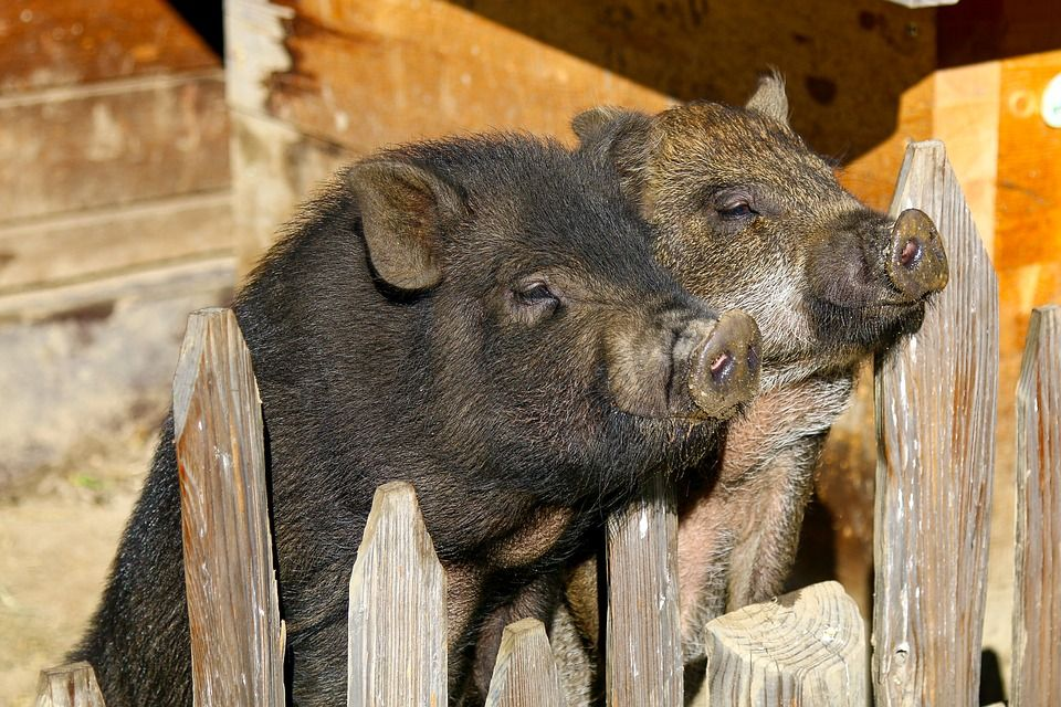 Activists Are Fighting to Stop the Mass Slaughter of Puerto Rico's Pot-Bellied Pigs