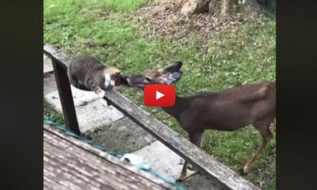 VIDEO: Deer Licks Cat Friend Lovingly On the Head