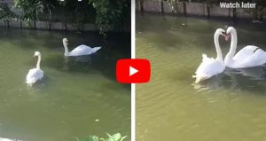 VIDEO: Swans Reunited After Weeks Apart Show Just How In Love They Are