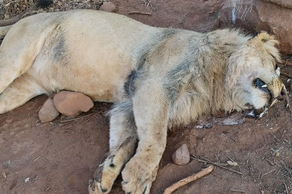 PETITION: Justice for Lion with Face Hacked Off by Poachers