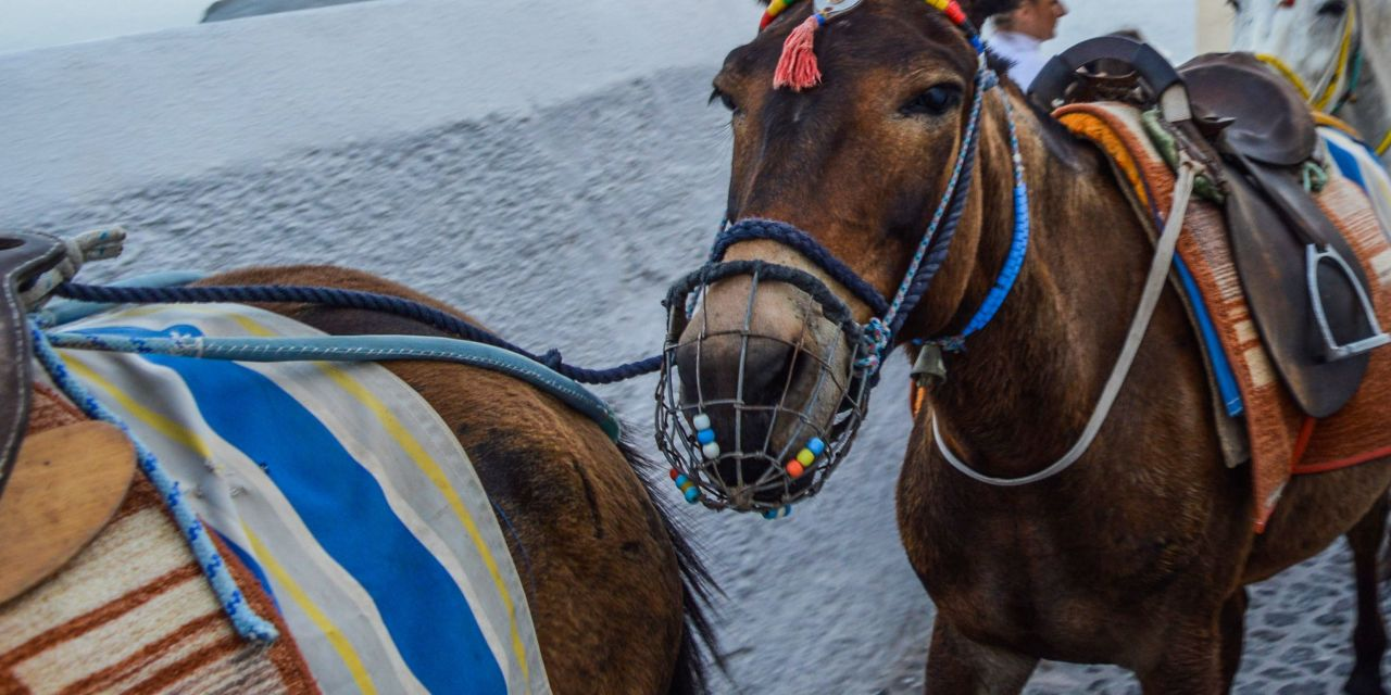 Santorini to Help Save Donkeys' Spines by Banning Rides for Heavy Tourists