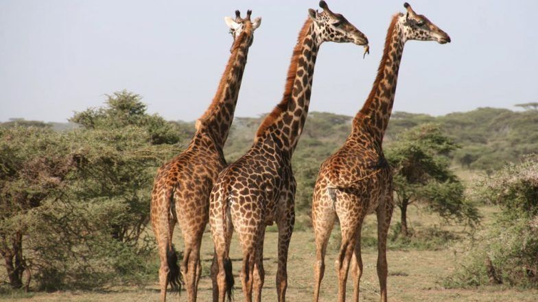 Trophy-Hunted Giraffe Body Parts Are Being Legally Sold In The U.S.