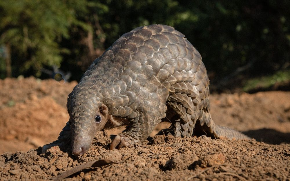 New Investigation Reveals the True Horrors of Pangolin Poaching