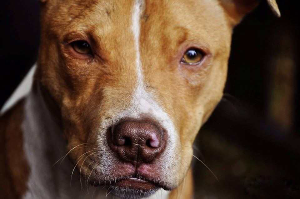 UPDATE: Virginia Dogfighter Convicted on Nearly 40 Counts of Animal Cruelty