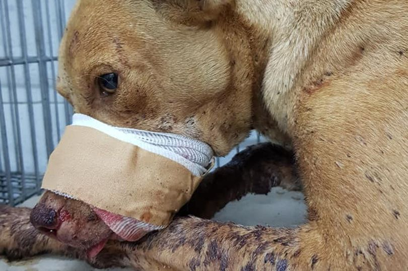Children Blew Up A Firecracker Inside This Dog's Mouth. Sign to Tell Authorities they Must Intervene