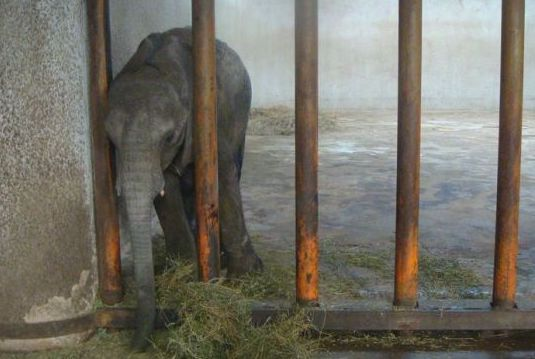 SIGN: Stop Kidnapping Baby Elephants to Sell to Cruel Chinese Zoos