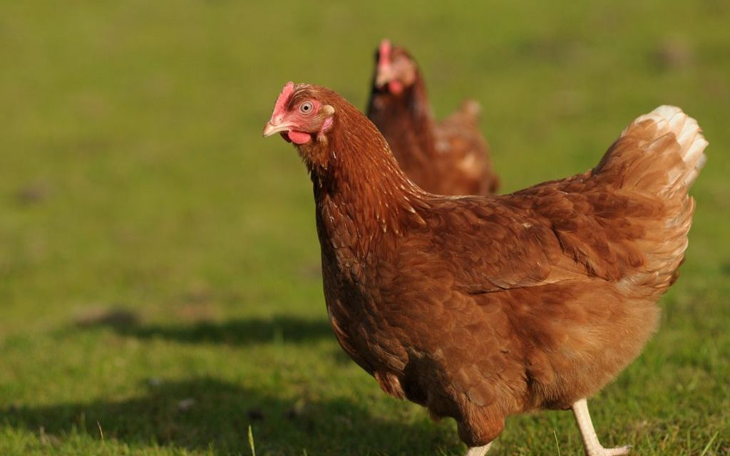 Brazilian Bakery Chain Vows to Go Cage-Free