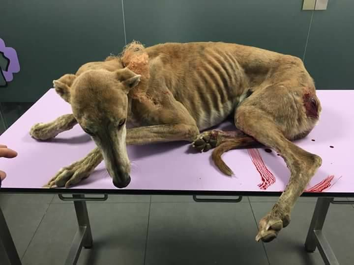 Greyhounds Thrown Down Wells to Die by Cruel Hunters