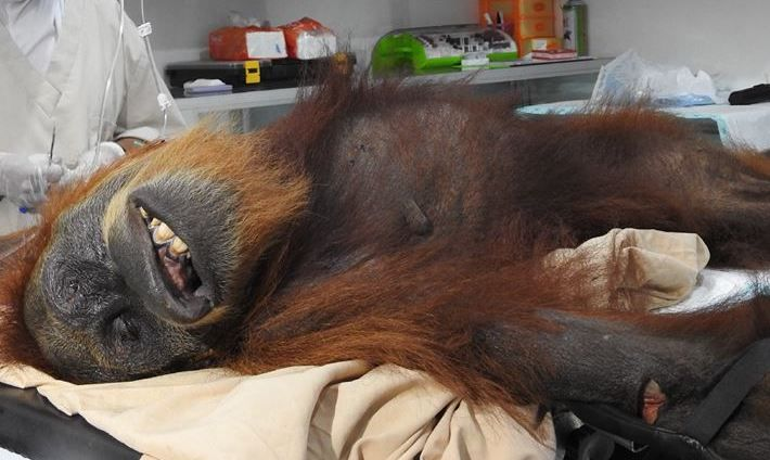 Sign: Justice for Orangutan Mother Shot 74 Times