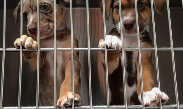 Pet Rescue Exposed as Front for Puppy Laundering Scheme