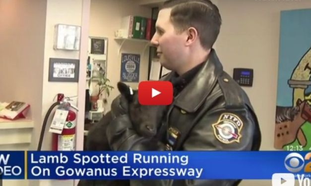 VIDEO: Baby Black Sheep Rescued on the New York Expressway