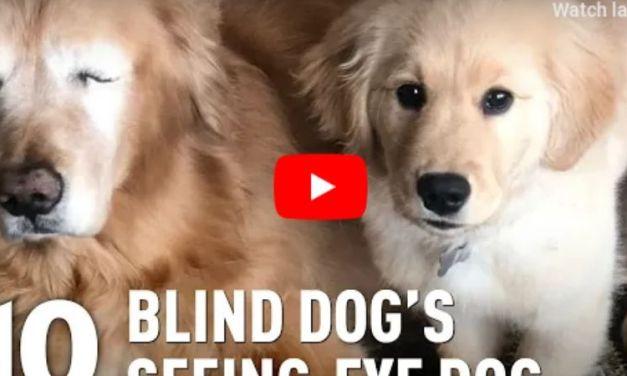 VIDEO: Blind Golden Retriever Gets His Own Seeing-Eye Puppy