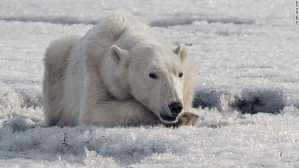 Weary Polar Bear Seen Searching for Food 700 Kilometers from Home