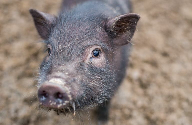 SIGN: Justice for Princess, Pet Pig Ruthlessly Slaughtered by Neighbor