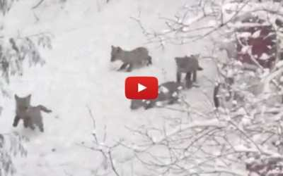 VIDEO: Baby Foxes Just Can't Get Enough of Playing in the April Snow