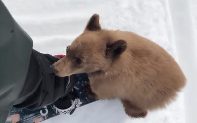 friendly bear cub snowboarder