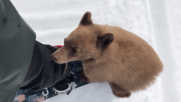 SIGN: Don't Kill Adorable Bear Cub Who Approached Snowboarders