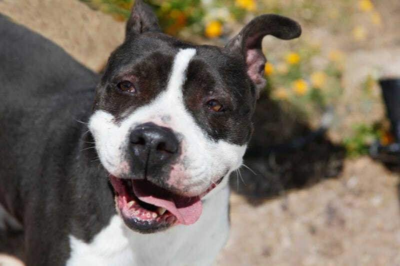 This Arkansas City Has Reversed Its Law Banning Pit Bulls