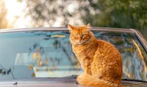 Ginger cat sitting on car