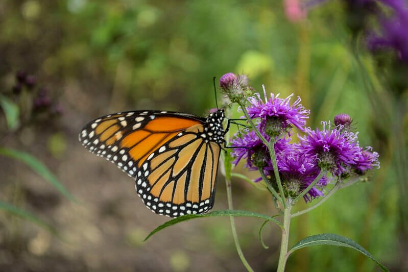 120 Million Beautiful Monarch Butterflies Are Headed for New York