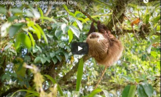 Video: Adorable Sloth Returns To The Wild After Three Years Of Rehab