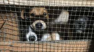 Puppies in the dog meat industry in Indonesia
