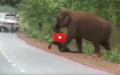 Adult elephant carrying dead baby elephant