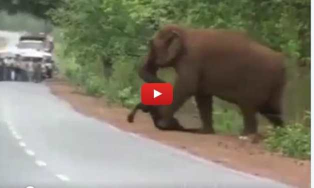 VIDEO: Elephant Carries the Body of Dead Calf in Heartbreaking Funeral Procession
