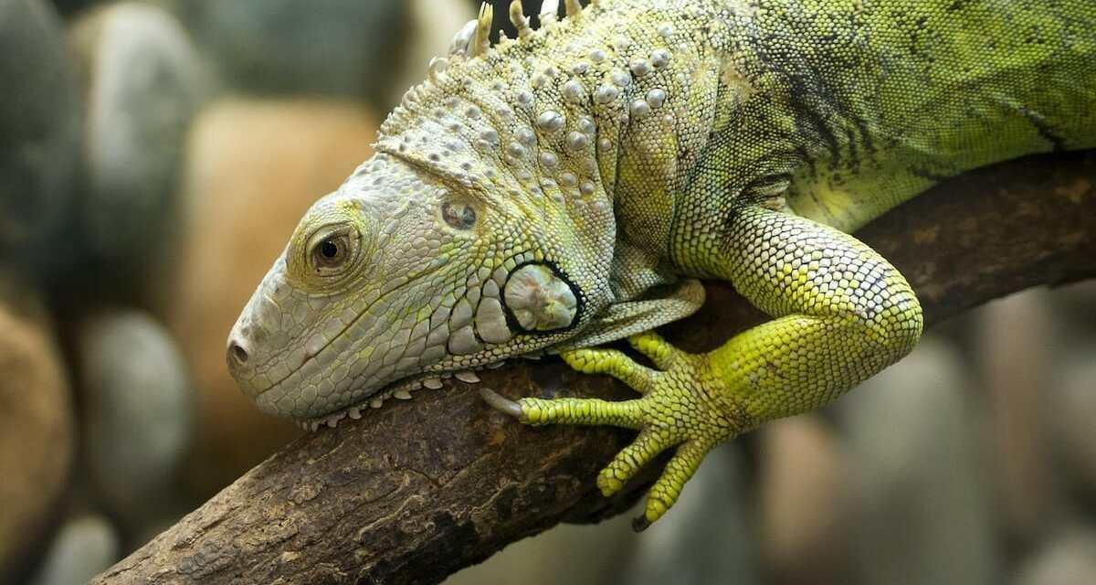 SIGN: Stop Cruel, Government-Sanctioned Massacre of Florida's Iguanas