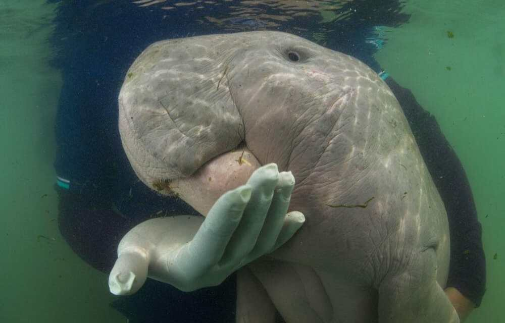 Mariam the Baby Dugong Has Died from Plastic in Her Stomach
