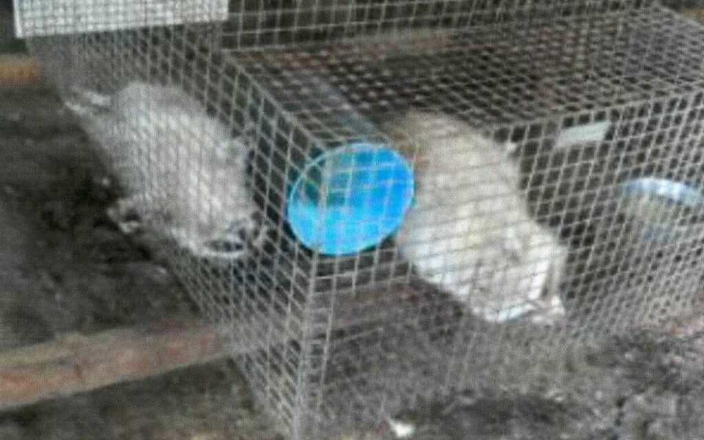 USDA Refuses to Save Raccoons from Extreme Suffering at Iowa Fur Farm